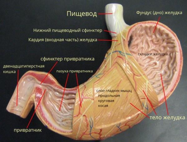 Детальная анатомия желудка