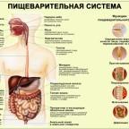 Как устроена система пищеварения человека