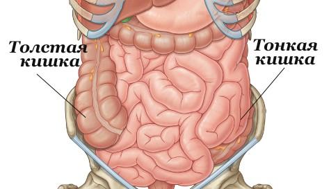 Как устроен кишечник человека