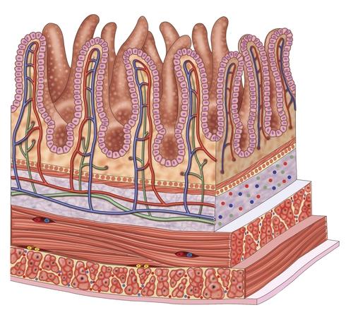 Ворсинки кишечника втягивают питательные вещества
