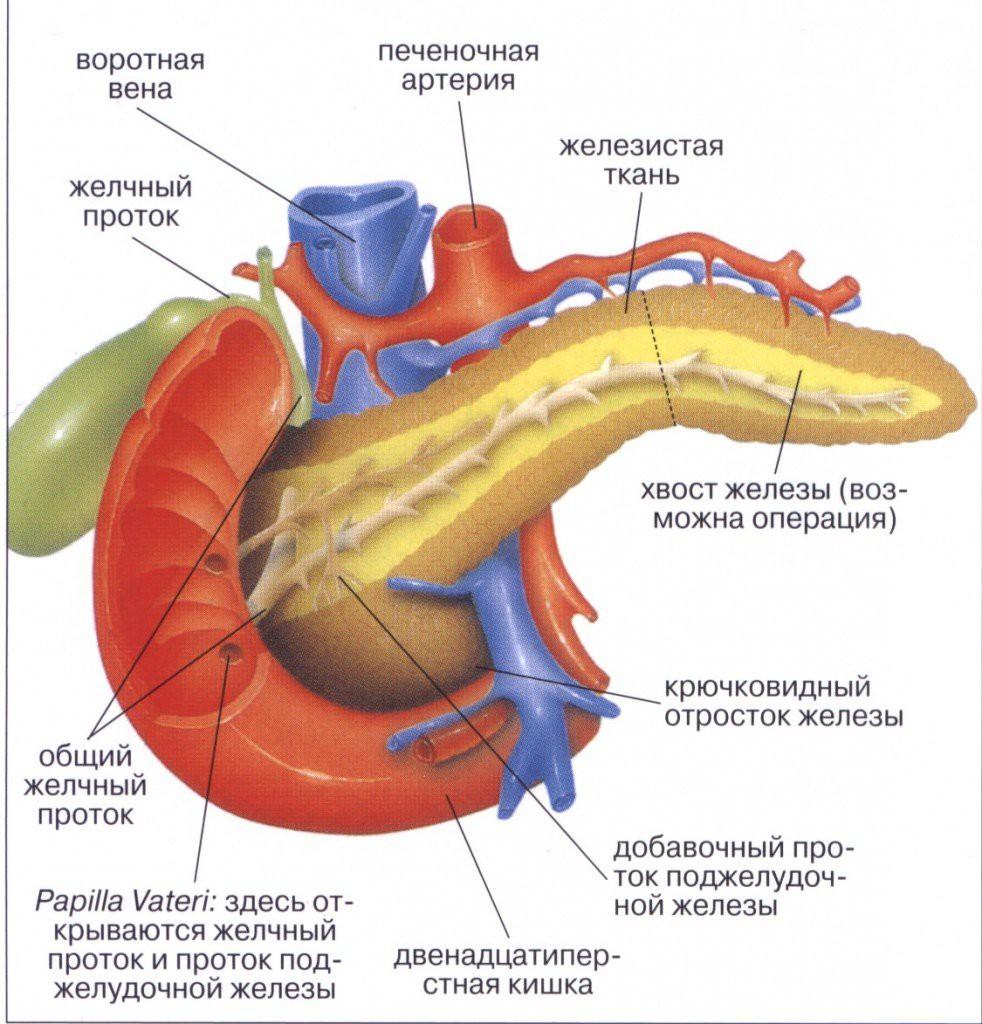 Поджелудочная железа играет важнейшую роль в пищеварении человека
