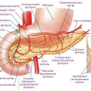 Поджелудочная железа играет важнейшую роль в организме человека
