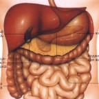 Из каких органов состоит брюшная полость