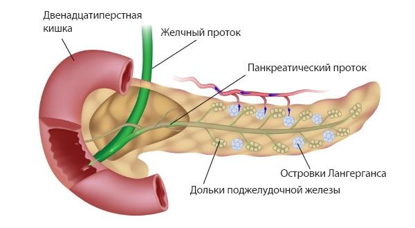 Поджелудочная железа отыгрывает важную роль в пищеварении