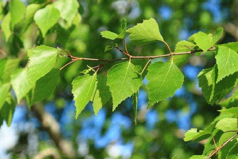 Настой из листьев молодой березы поможет при панкреатите