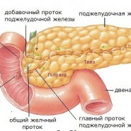 Поджелудочная железа отыгрывает важнейшую роль в прищеварении