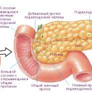 Составные части важнейшей железы в организме человека