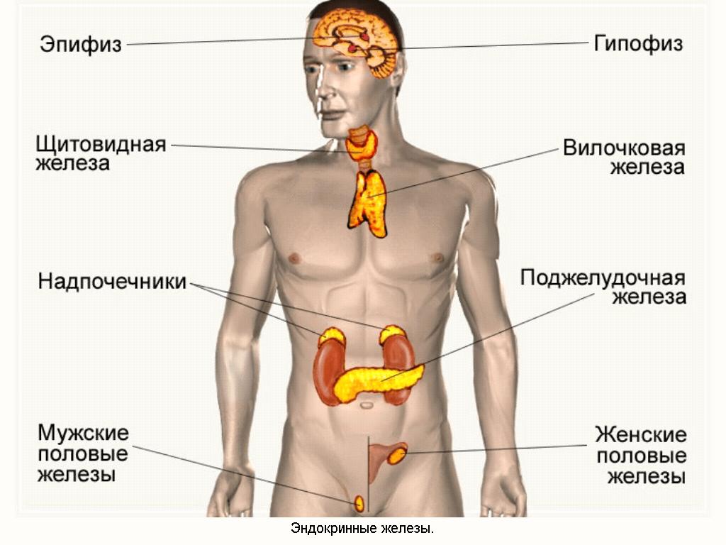 Где находятся эндокринные железы