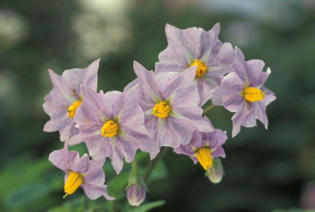 Цветы для настоя
