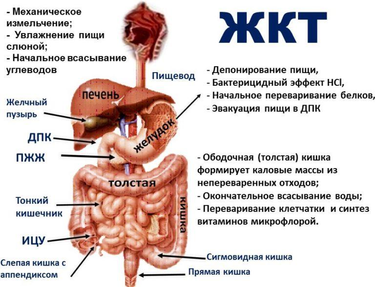 Органы ЖТК